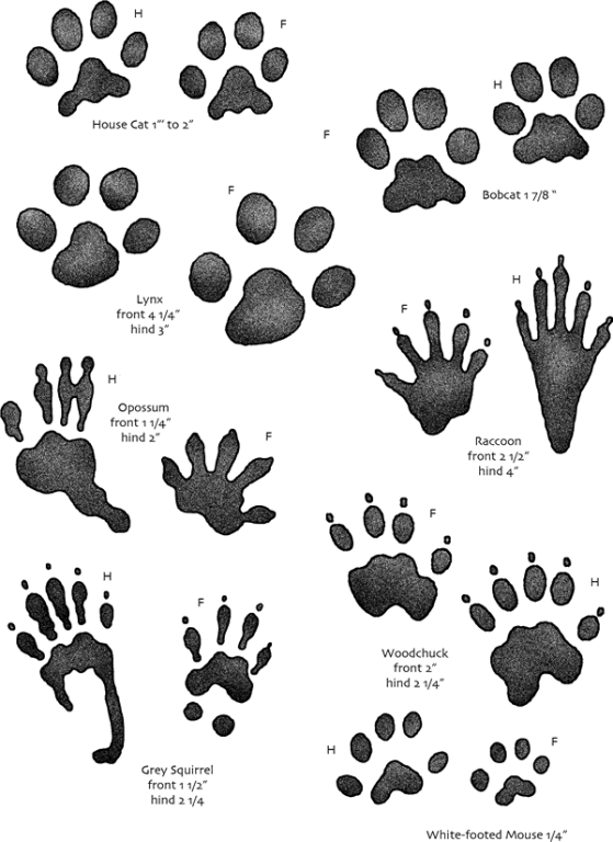 It's just an image of Revered Printable Animal Tracks
