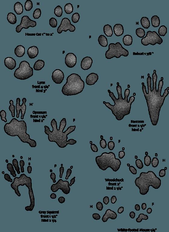Resource image throughout printable animal footprints