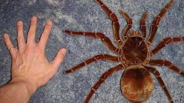 worlds-biggest-spider-giant-spider-13.jpg